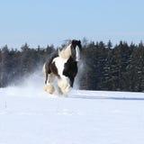 Amazing stallion of irish cob running in winter Stock Photos