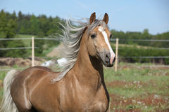 Amazing stallion running on summer pasturage Stock Photo