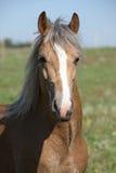 Amazing stallion running on summer pasturage Royalty Free Stock Image