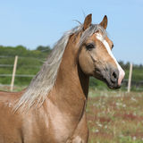 Amazing stallion running on summer pasturage Royalty Free Stock Photo