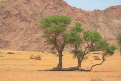 Strange growing tree desert Royalty Free Stock Photo