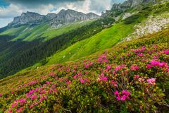 Spectacular pink rhododendron flowers in the mountains, Bucegi, Carpathians, Romania. Amazing summer landscape, beautiful colorful pink rhododendron mountain stock image