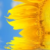 Amazing sunflower Stock Image