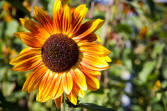 Amazing sunflower in garden Stock Photos
