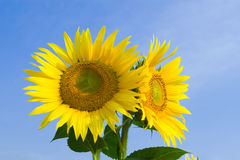 Amazing sunflowers Stock Photos