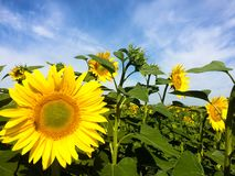 Amazing sunflowers royalty free stock photos