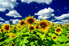 Amazing sunflowers and blue sky. Royalty Free Stock Photo