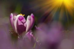 Amazing sunlight on spring flower crocus. View of magic blooming spring flowers crocus growing in wildlife. royalty free stock photo