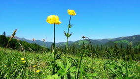 Amazing sunny day in mountains. Summer meadow with wildflowers under blue sky stock video