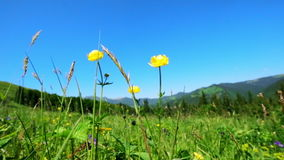 Amazing sunny day in mountains. Summer meadow with wildflowers under blue sky. Nature background and landscape stock footage