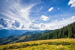 Amazing sunny landscape with pine tree highland forest. At Carpathian mountains under blue sky. Ukraine destinations and travel background Royalty Free Stock Photo