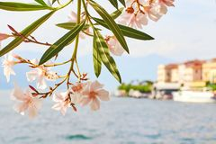 Beautiful sunny summer view of Bellagio town at lake Como in Italy with blooming nerium oleander flowers, ships and Royalty Free Stock Photos