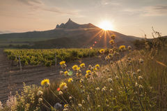 Amazing sunrise over the vineyards Stock Image