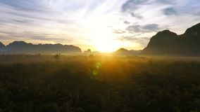 Amazing Sunrise at Palm Oil Tree Plantation. Aerial HD birds eye view. Thailand. stock video footage