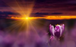Amazing sunrise with spring flower crocus and colorful clouds. Majestic sunbeams on spring flower crocus royalty free stock image