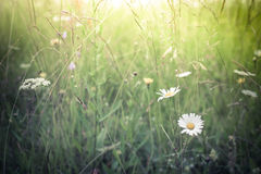 Amazing sunrise at summer meadow with wildflowers. Nature floral background in vintage style stock photography