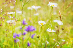 Amazing sunrise at summer meadow with wildflowers Stock Photos