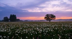 Amazing sunset over the field of beautiful yellow wild daffodils Stock Photos