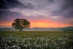 Amazing sunset over the field of beautiful yellow wild daffodils Stock Photo