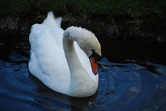 Amazing Swan in a Pond with Shallow Waters. Swan swimming in a pond with shallow waters royalty free stock photo