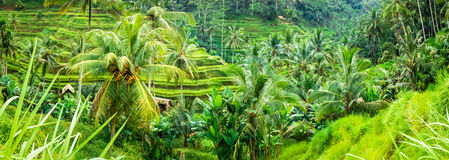 Amazing Tegalalang Rice Terrace Fields and some Palm Trees Around, Ubud, Bali, Indonesia. Banner Royalty Free Stock Images
