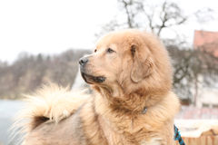 Amazing Tibetan mastiff patrolling in the garden Stock Photos