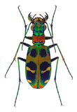Amazing tiger beetle Cicindela chinensis Royalty Free Stock Image