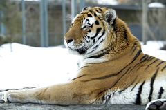 Amazing tiger with a strong look in eyes. Bengal tiger pose on b stock photo