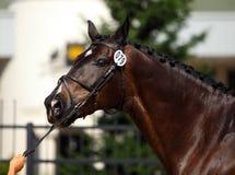 Amazing Trakehner horse portrait. Bay Trakehner horse in summer park background Stock Photography