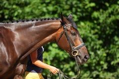 Amazing Trakehner horse portrait. Bay Trakehner horse in summer park background Royalty Free Stock Photos