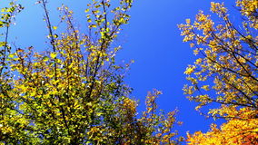 Amazing tree crown rotation and blue sky in sunny day in park. Amazing tree crown rotation, autumnal landscape, sunny day of october stock video footage