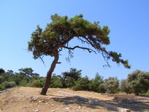 Amazing tree in forest, Thasoss, Greece Royalty Free Stock Photo