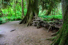 Amazing tree roots, Hoh Rain forest, Olympic National Park, Washington USA. Amazing tree roots, Hoh Rain forest, Olympic National Park, Washington Royalty Free Stock Photo
