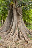Amazing tree roots Stock Photos