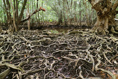 Amazing tree roots spread throughout the mangrove forest, Trat Province of Thailand Royalty Free Stock Image