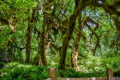 Amazing trees in a tropical forest, Hoh Rain forest, Olympic National Park, Washington USA Royalty Free Stock Image