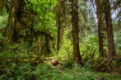 Amazing trees in a tropical forest, Hoh Rain forest, Olympic National Park, Washington USA Stock Photography