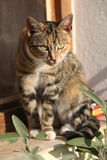 Amazing tricolour cat looking at you Royalty Free Stock Photo