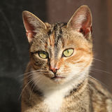 Amazing tricolour cat looking at you Stock Image