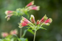 Amazing tropical alstroemeria viridiflora flower in bloom, colorful beautiful flowering Brazil plant stock photography