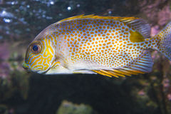 Amazing tropical fish Royalty Free Stock Images