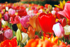 Amazing Tulips Stock Photo