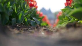 Amazing tulips field in Ukraine.  stock footage
