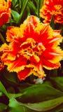 Amazing tulips. Stock Photography