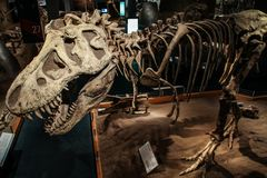 Free Amazing Tyrannosaurus Rex Dinosaur Fossil, Royal Tyrrell Museum Of Palaeontology, Alberta, Canada Stock Photos - 142506723