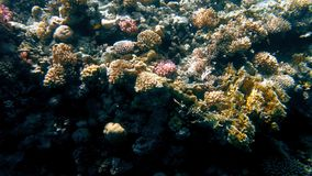 Amazing underwater 4k video of underwater life around coral reef. Beautiful nature of Red sea. Amazing underwater 4k footage of underwater life around coral reef stock video
