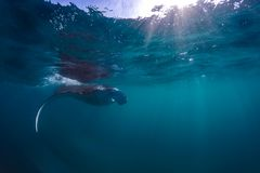 Beautiful Manta Ray flying underwater in sunlight in the blue sea stock photography