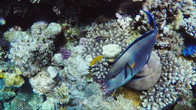Amazing underwater world of coral and exotic fish. Fish surgeon swims by stock footage