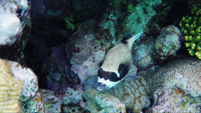 The amazing underwater world of fish and corals Masked puffer fish. Underwater video. Masked puffer fish, a species that`s endemic in the Red Sea stock footage