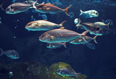 Amazing underwater world, shoal tropical shiny silver fishes Royalty Free Stock Images